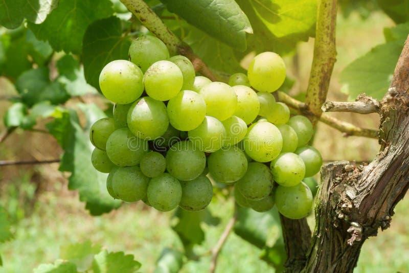 Gröna druvor på trädet royaltyfria bilder