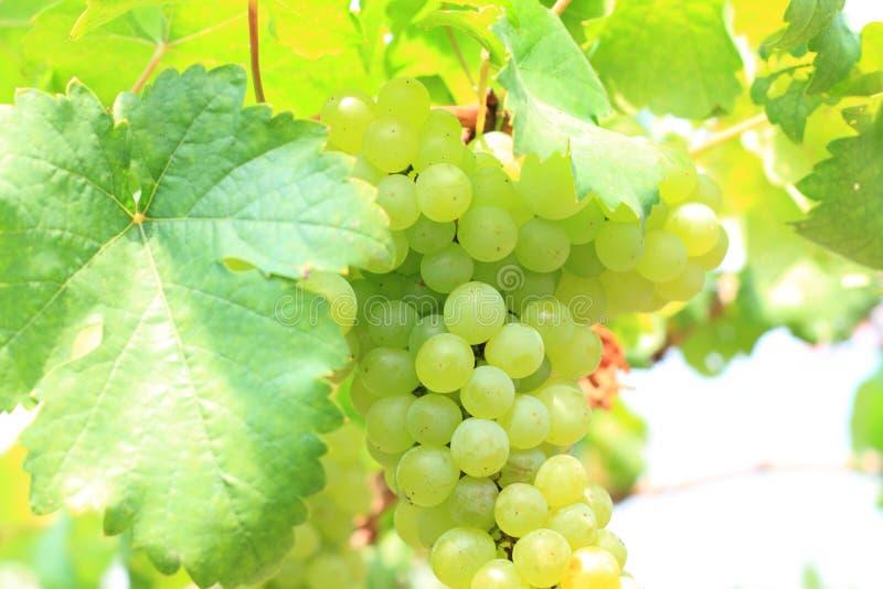 Gröna druvor på vinrankasolnedgångtid royaltyfri fotografi