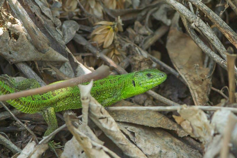 Gröna europeiska ödlaLacertaviridis fotografering för bildbyråer