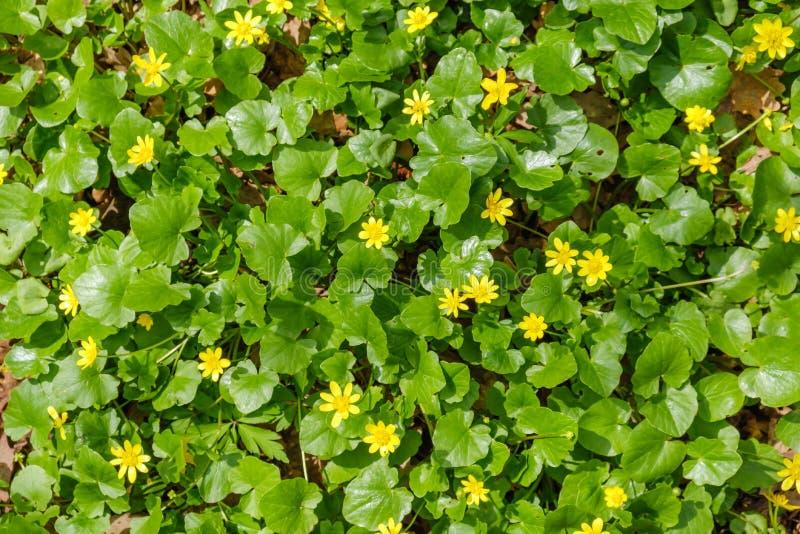 Gröna fältgulingmaskrosor Closeupen av den gula våren blommar på jordningen arkivbilder