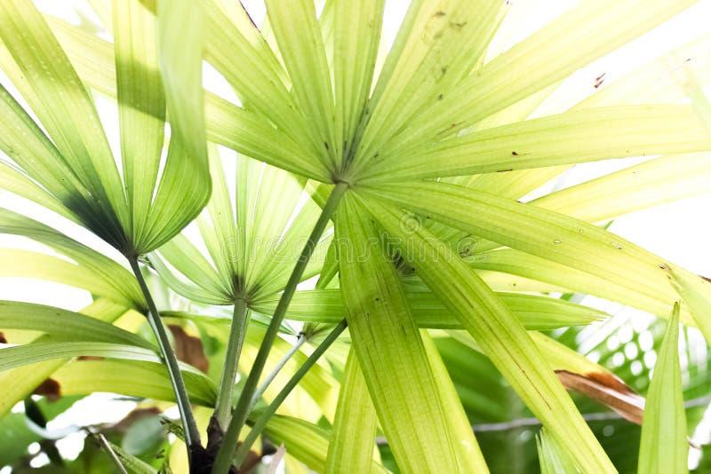 Gröna fanpalmblad stänger sig upp arkivbild