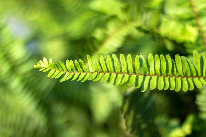 Gröna Fern Leaves i solskenet för naturlig bakgrund arkivbilder