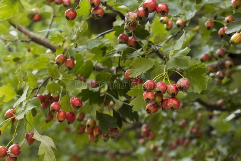 Gröna filialer av hagtorn med röda bär royaltyfria foton