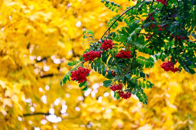 Gröna filialer med grupper av den röda rönnSorbusaucupariaen, trädbergaska på bakgrunden av guld- höstsidor H?st royaltyfri fotografi