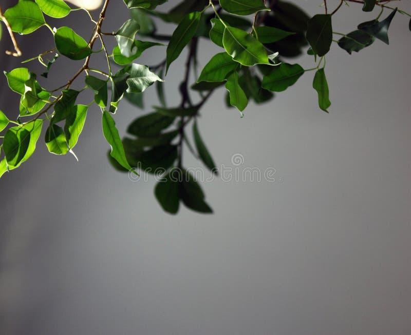 Gröna filialer med sidor i solljuset på en grå bakgrund, closeup royaltyfri fotografi