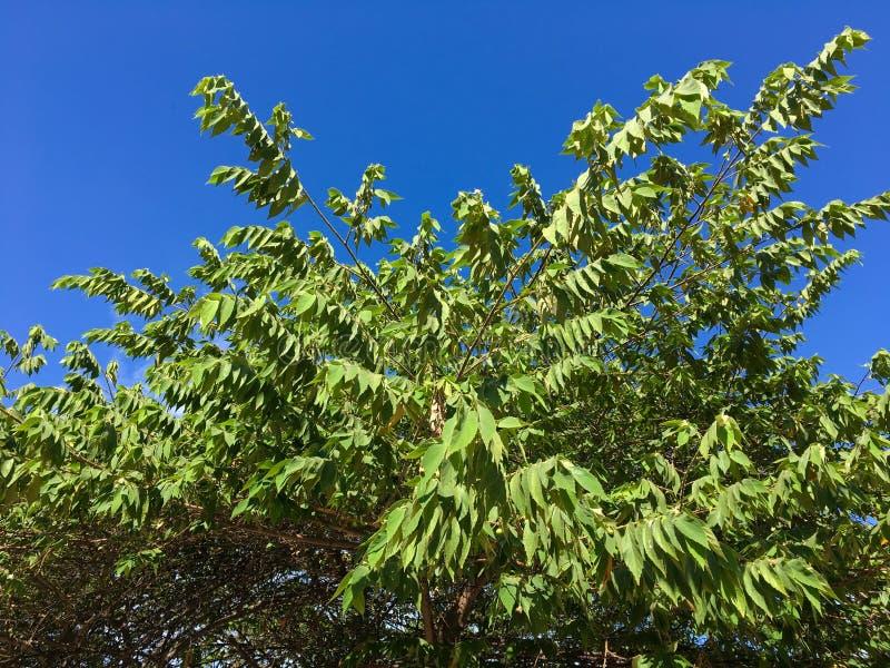 Gröna flacourtiarukamsidor i naturträdgård royaltyfria bilder