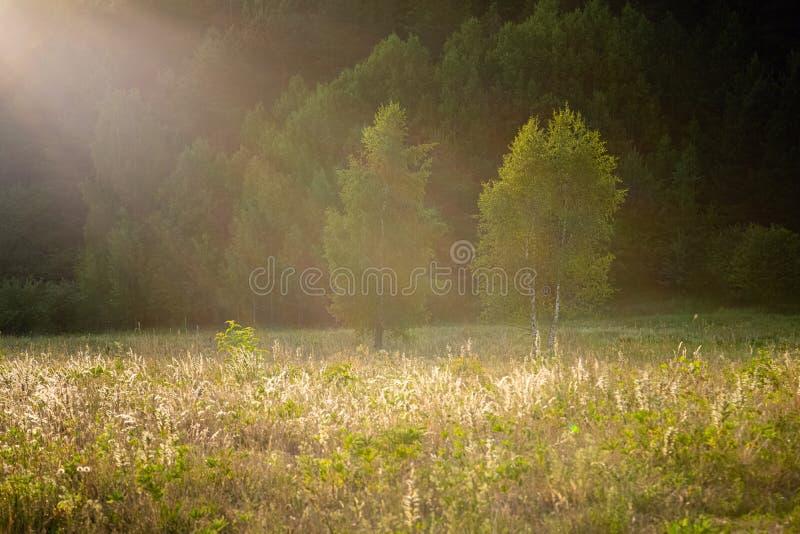 Gröna frodiga sommarträd på den varma solnedgångaftonen Guld- sken för timmesolljus i fältet på kanten av den frodiga lövverket f royaltyfri bild