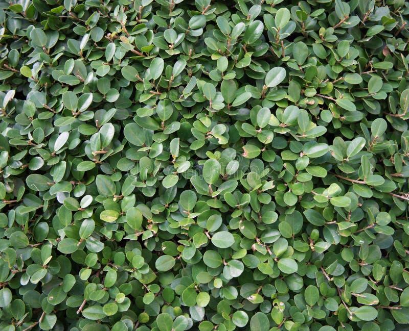 Gröna frodiga växter texturerar bakgrund, slut upp busken royaltyfria bilder