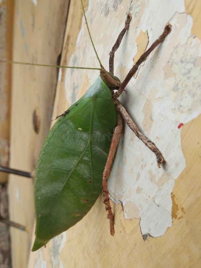 Gröna gräshoppor som sidor, royaltyfria foton