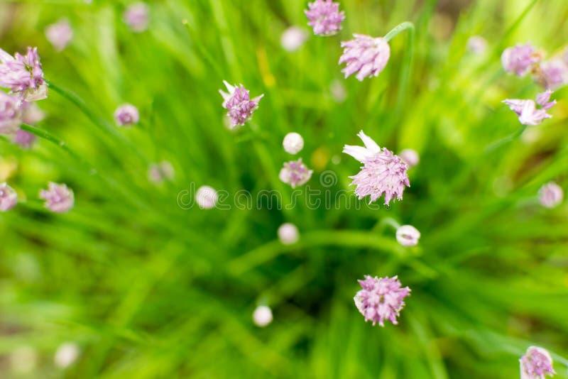 Gröna gräslökar som växer purpurfärgade blommahuvud royaltyfri foto