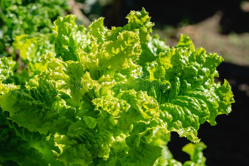 Gröna grönsaksidor, sunt äta, vegetarisk mat Stäng sig upp av den gröna växten för lockig grönkål i en grönsakträdgård arkivfoto