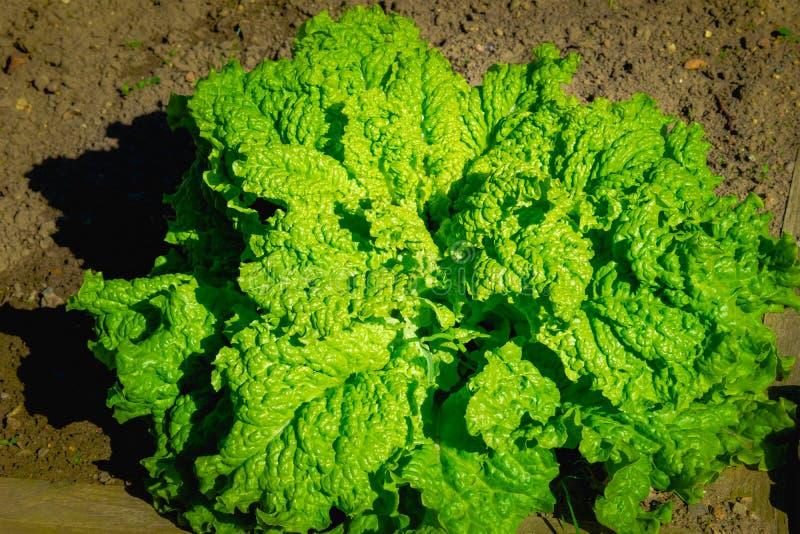 Gröna grönsaksidor, sunt äta, vegetarisk mat Stäng sig upp av den gröna växten för lockig grönkål i en grönsakträdgård royaltyfria foton