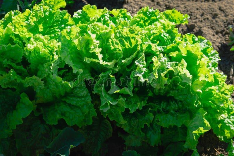 Gröna grönsaksidor, sunt äta, vegetarisk mat Stäng sig upp av den gröna växten för lockig grönkål i en grönsakträdgård royaltyfri bild