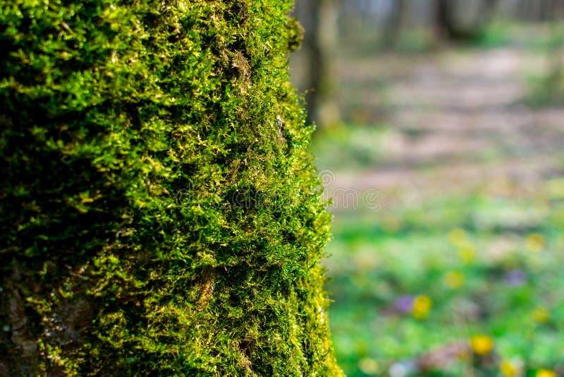 Gröna groddar av mossacloseupen på ett träd på en solig sommardag, selektiv fokus, bakgrund arkivfoton