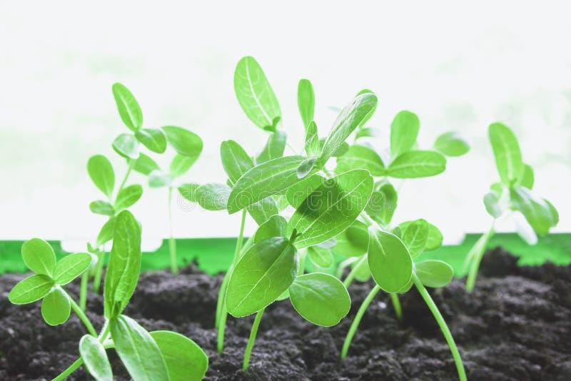 Gröna groddar i jordningen i plantaasken Begreppet av utveckling av vetenskaplig forskning i fältet av GMOs, växt fotografering för bildbyråer