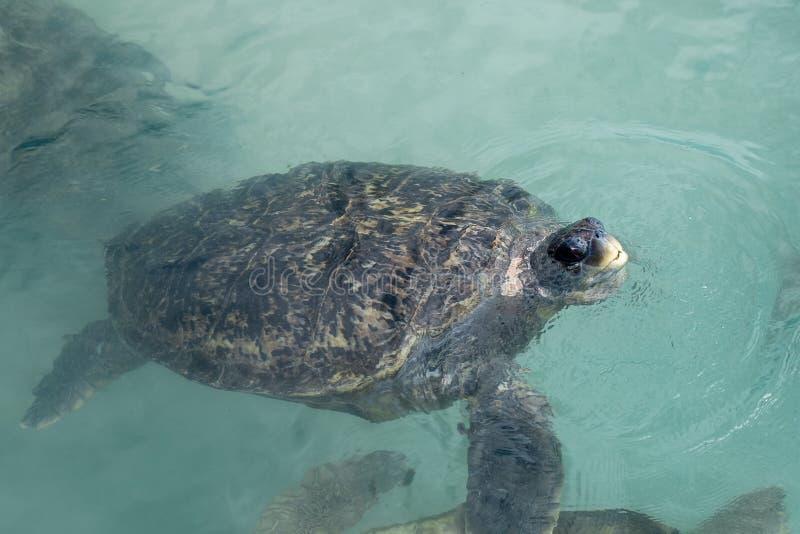 Gröna havsköldpaddan kommer upp för luft arkivbild