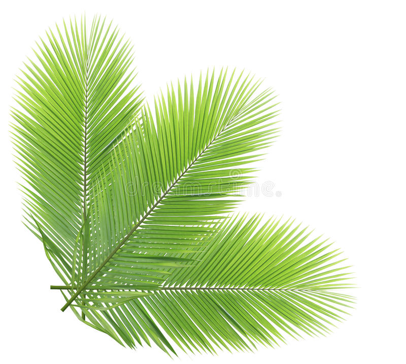 Gröna isolerade kokosnötsidor royaltyfri foto