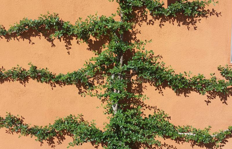 Gröna Ivy Hugs väggen arkivfoto
