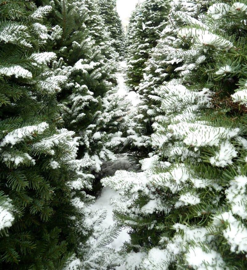 Gröna julgranar med ny snö arkivbild