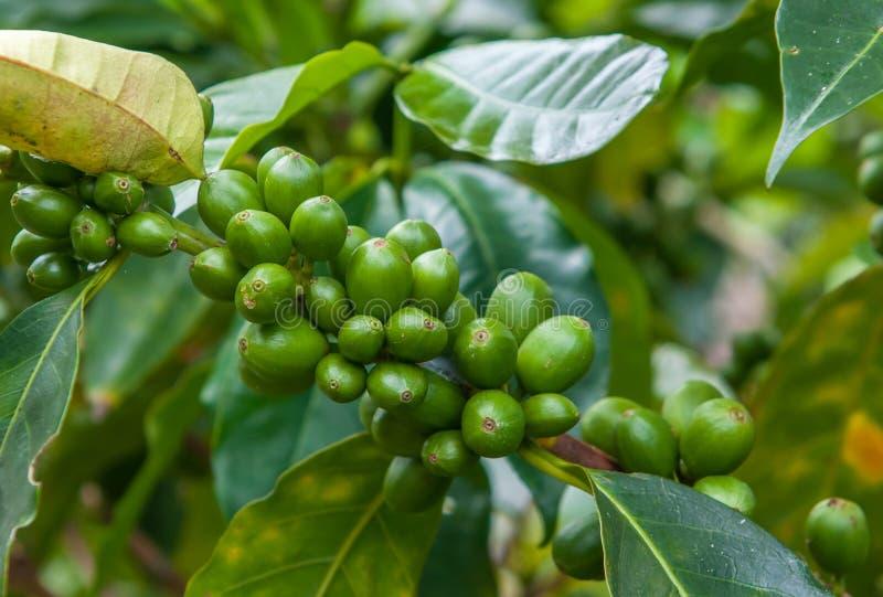 Gröna kaffebönor arkivbild
