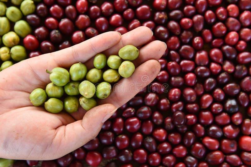 Gröna kaffebönor i hand på rött bärkaffe arkivfoto
