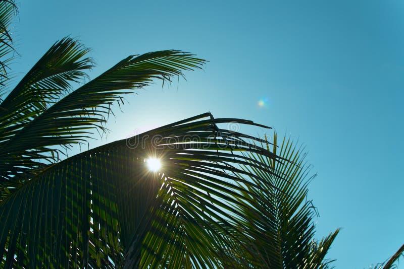 Gröna kokosnötpalmblad på bakgrund för blå himmel royaltyfri foto