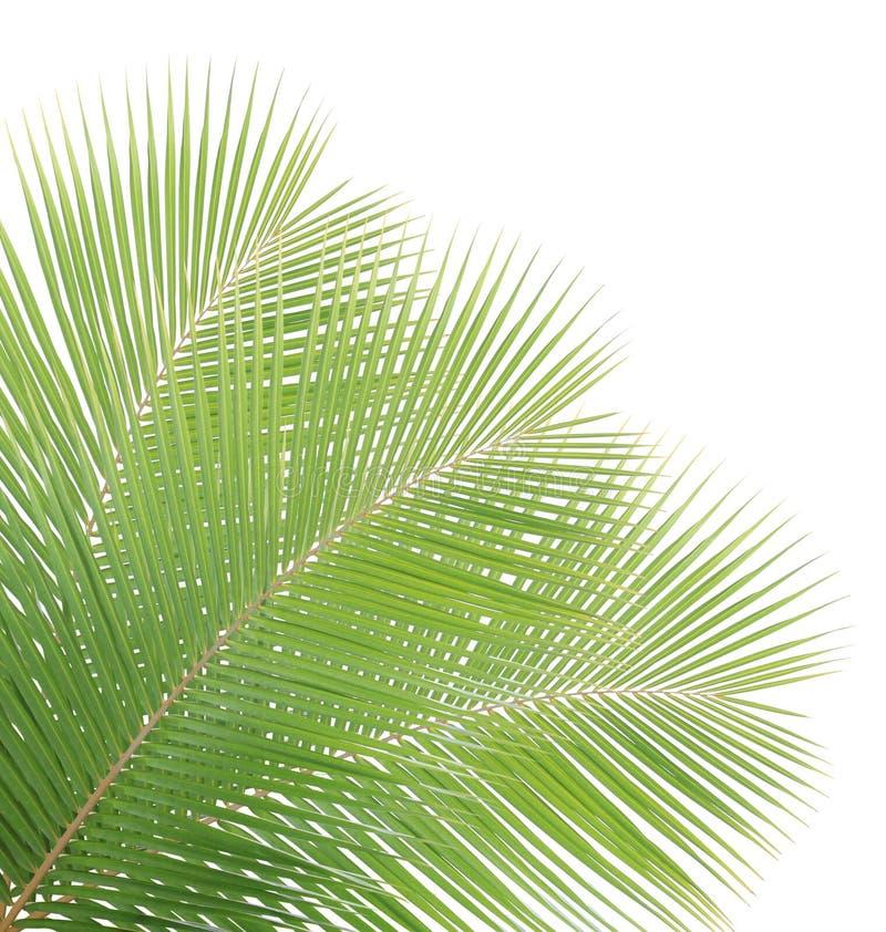 Gröna kokosnötsidor arkivbild
