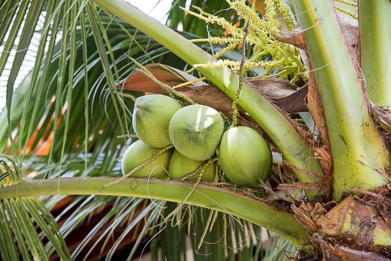 Gröna kokosnötter på en palmträd arkivfoto