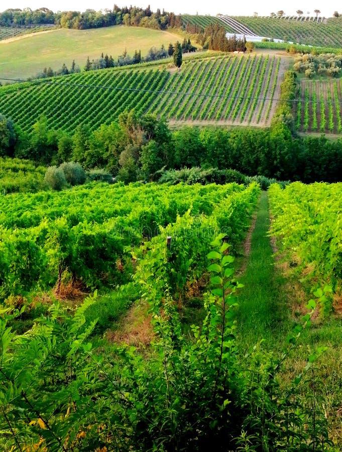 Gröna kullar av vin, Sangiovese arkivbilder