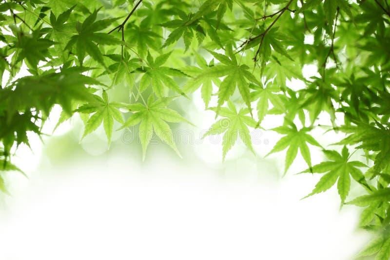 Gröna lönnlöv arkivbilder