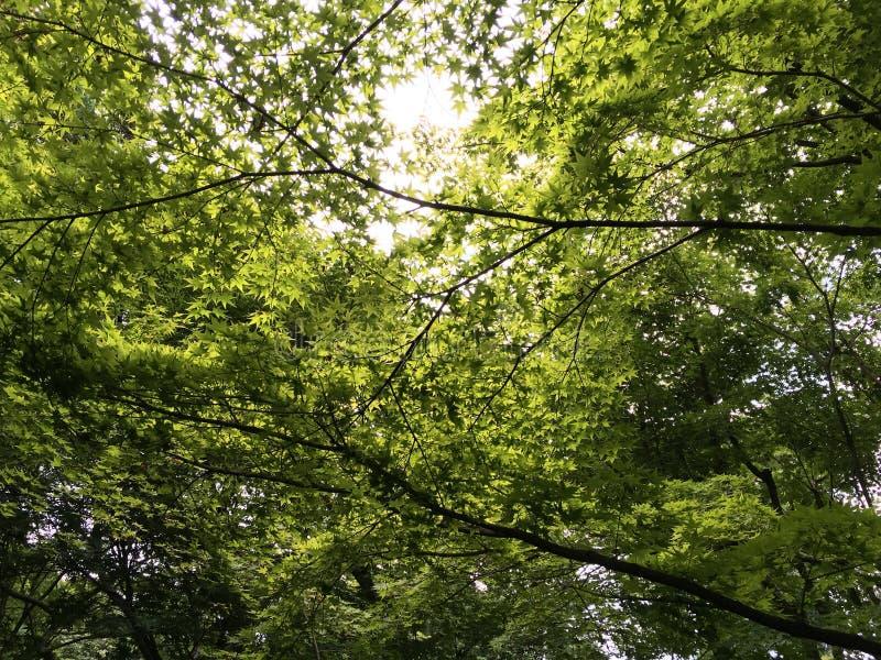 Gröna lönnlöv i sommartid arkivbilder