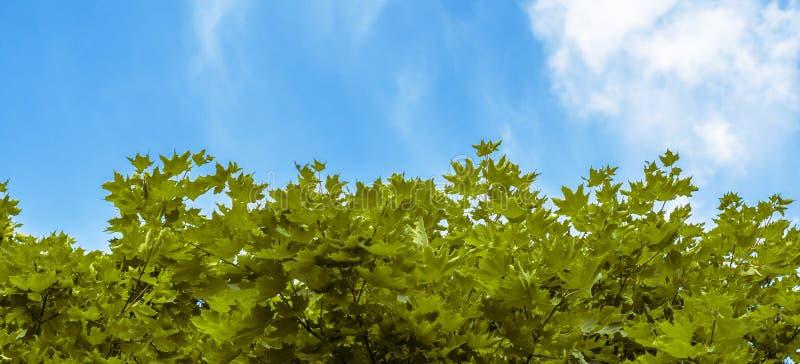 Gröna lönnlöv på bakgrund av blå himmel royaltyfria foton