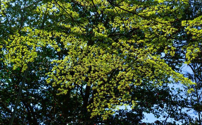 Gröna lönnlöv på trädet royaltyfri foto