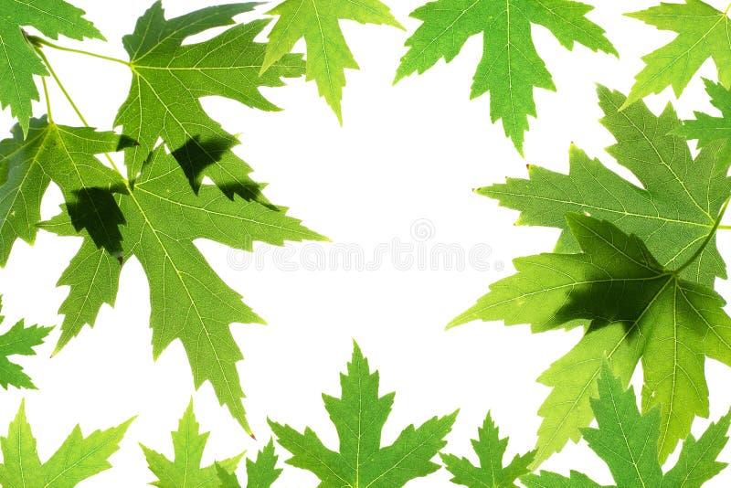 Gröna lönnlöv som isoleras på white royaltyfria bilder