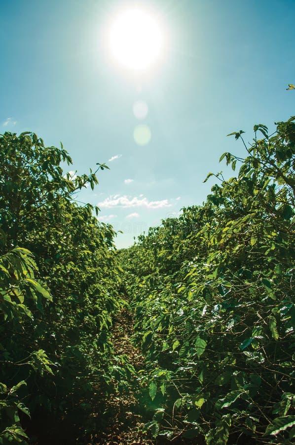 Gröna lövrika kaffeträd utan bönor royaltyfria foton