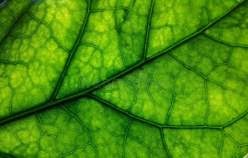 gröna leafåder royaltyfria foton