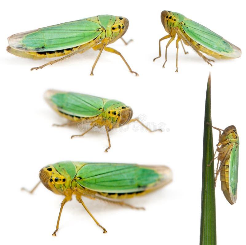 gröna leafhoppersviridis för cicadella royaltyfri fotografi