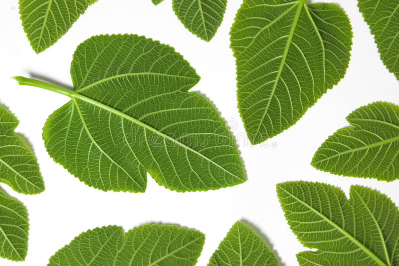 gröna leafs arkivfoton