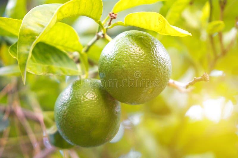 gröna limefrukter royaltyfri fotografi