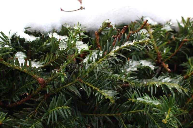 Gröna ljusa barrträds- filialer med visare under snö Barrträdskogbakgrund vinter för designbildtree royaltyfria bilder