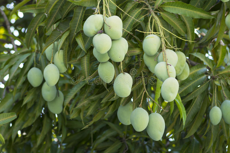Gröna mango som hänger på träd royaltyfria bilder
