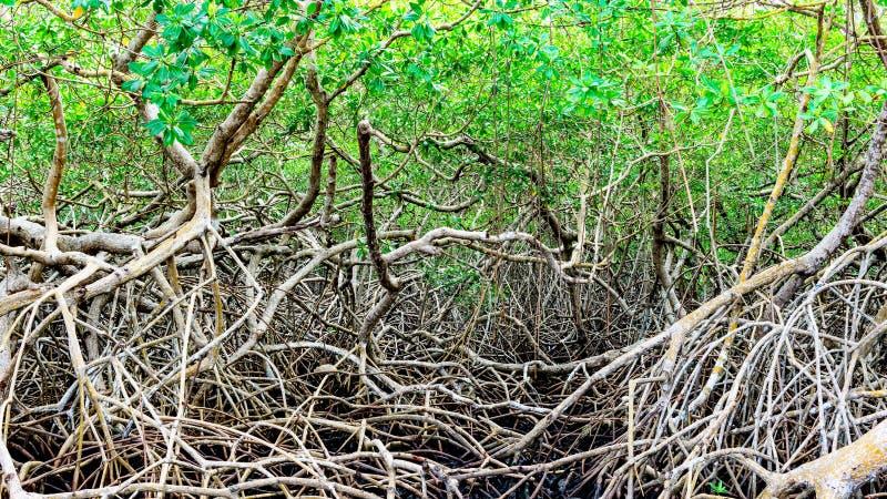 Gröna mangrovar översvämmar den täta vegetationskogen för djungeln i karibiska Tobago royaltyfri foto