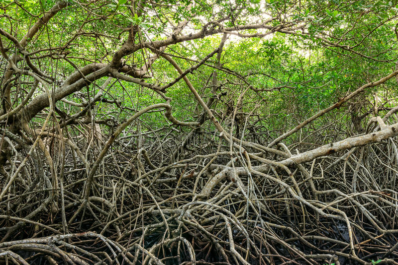 Gröna mangrovar översvämmar den täta vegetationskogen för djungeln i karibiska Tobago royaltyfria bilder