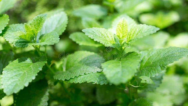 Gröna mintkaramellsidor i natur royaltyfria foton