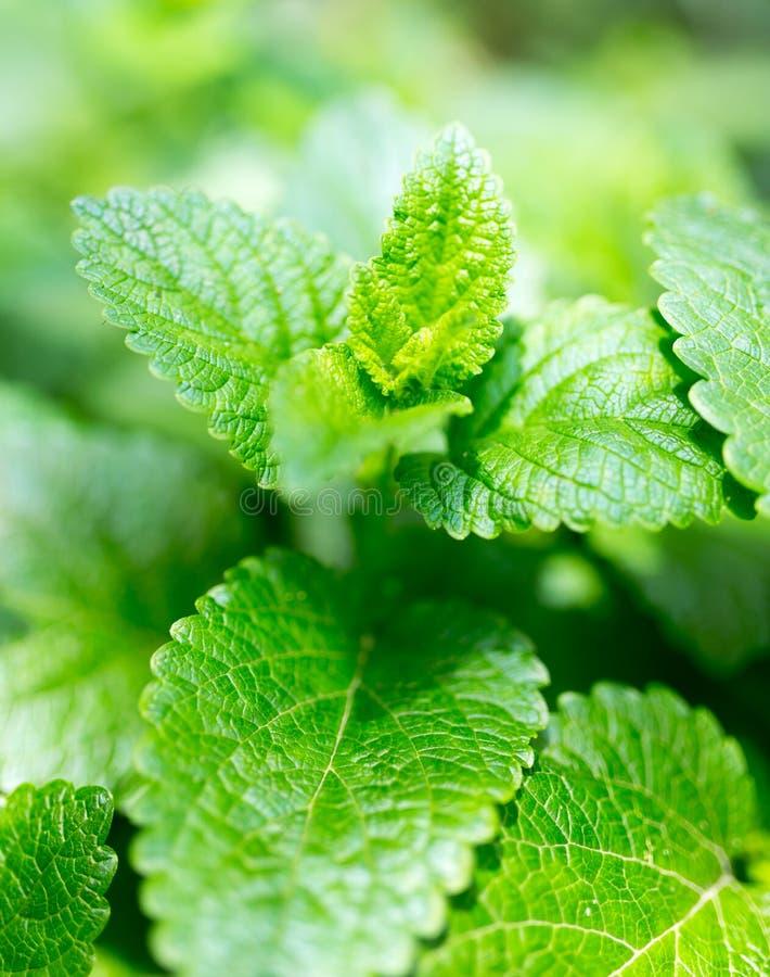 Gröna mintkaramellsidor i natur arkivfoto