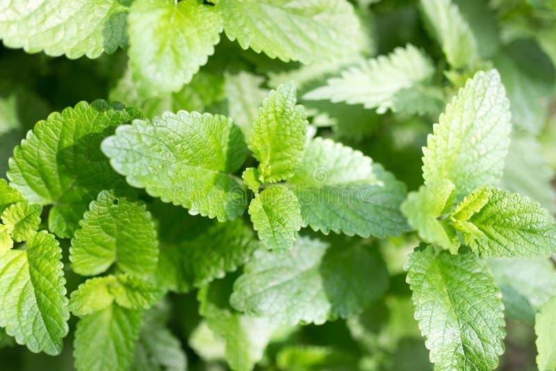 Gröna mintkaramellsidor i natur arkivfoton