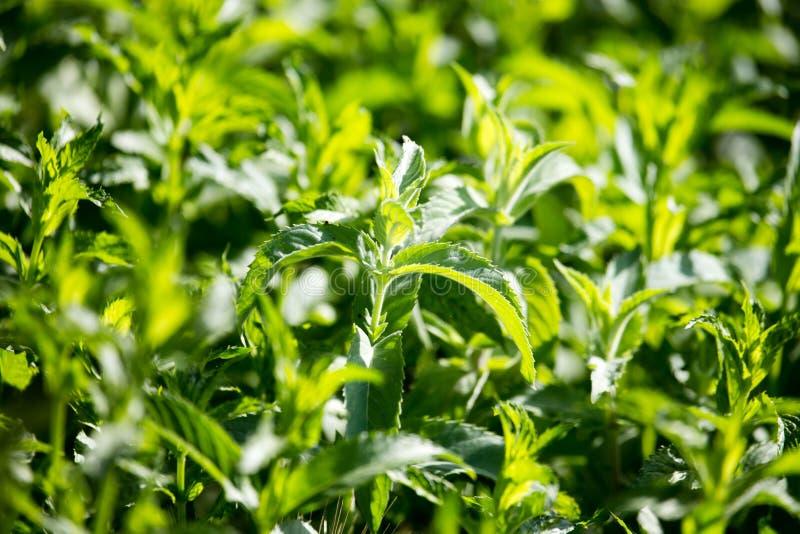 Gröna mintkaramellsidor i trädgården arkivbilder