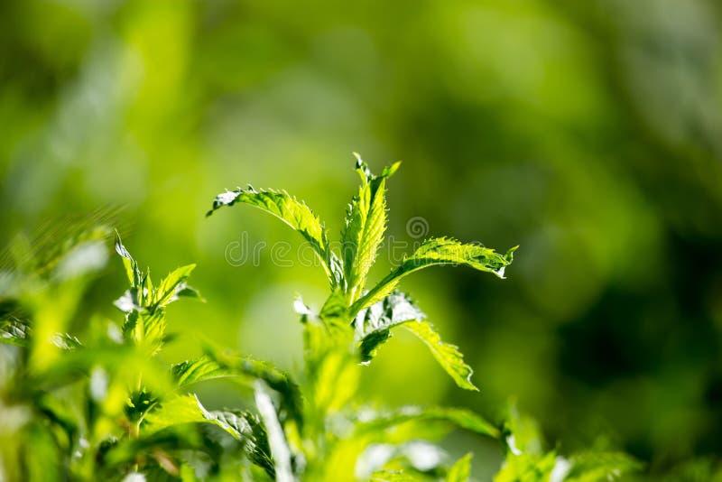 Gröna mintkaramellsidor i trädgården arkivfoton