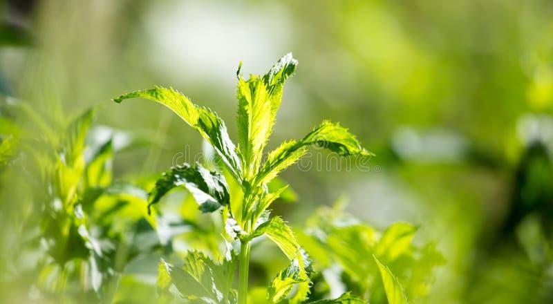 Gröna mintkaramellsidor i trädgården royaltyfria bilder