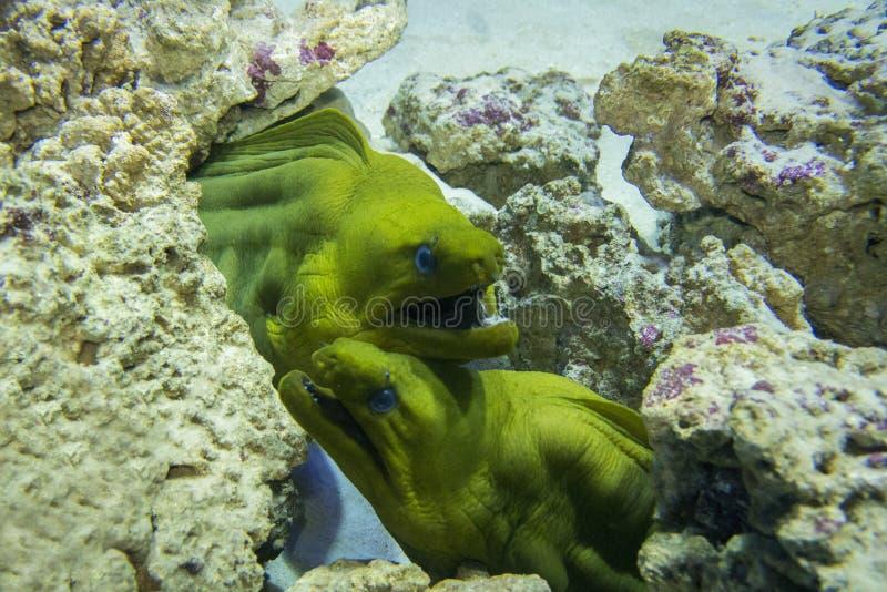 Gröna Moray Gymnothorax funebris fotografering för bildbyråer